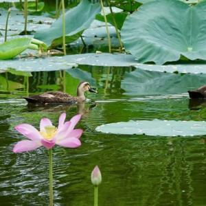 蓮の花とカルガモ
