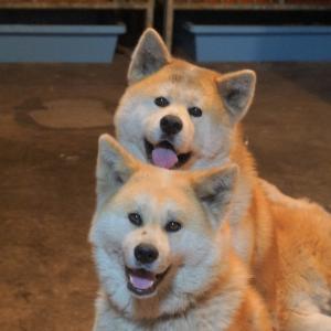 熱海の秋田犬