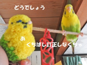 むずかしいインコ小鳥ポンポン