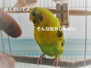 放鳥拒否になるみかんちゃん