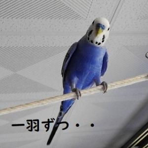 続けていた続けていた放鳥の方法を変えました。