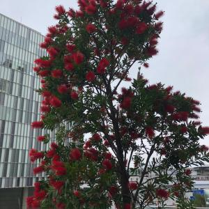 ブラシノキ 二子玉川 高島屋