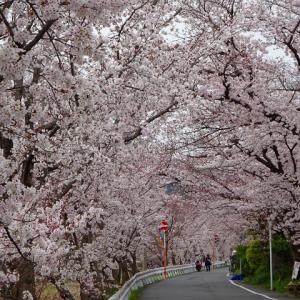 アップしそびれてたんです 賀茂川の春