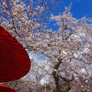耐えた桜 咲き誇る (≧▽≦)