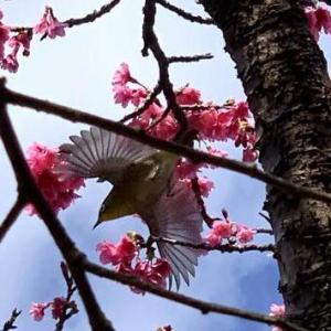 沖縄では桜祭りですが・・・
