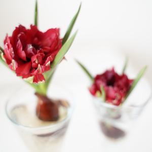 【花パトロール②】ミニチューリップの球根を見つけました。アットランダムに手にした...