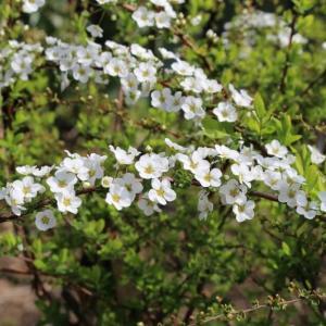 【誕生花】1月21日  ユキヤナギの花言葉