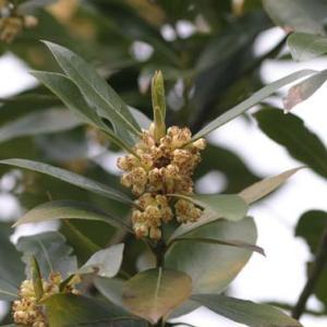【誕生花】2月28日 月桂樹の花言葉