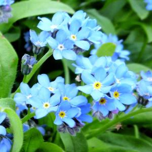 【誕生花】4月5日 ワスレナグサの花言葉