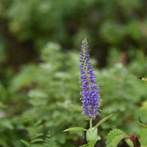 【複製】6月19日  ルリトラノオ の花言葉