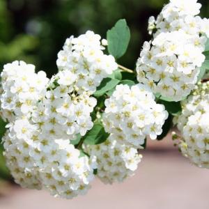 【誕生花】6月21日 こでまりの花言葉