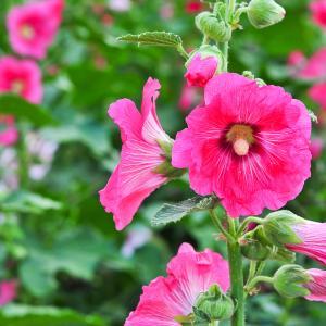 6月23日 タチアオイ の花言葉