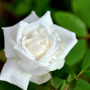 7月17日 白いバラ の花言葉