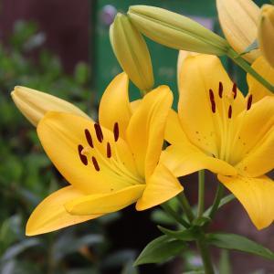 7月19日 黄色いユリ の花言葉