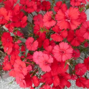 7月28日  赤いナデシコ の花言葉