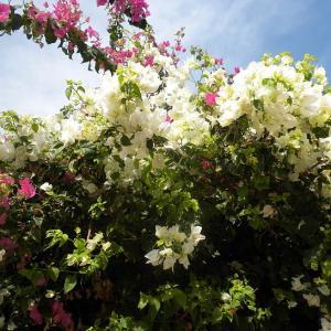 7月29日  白いブーゲンビリア の花言葉