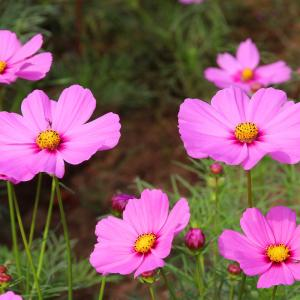 【誕生花】9月27日 コスモスの花言葉