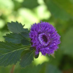 【誕生花】10月28日 ムラサキルーシャンの花言葉