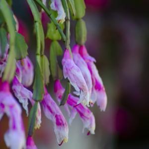 【誕生花】11月26日 シャコバサボテンの花言葉