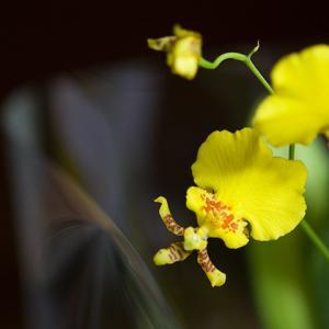 【誕生花】11月28日 オンシジウムの花言葉