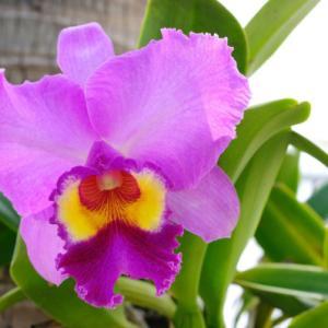 【誕生花】12月6日 カトレアの花言葉