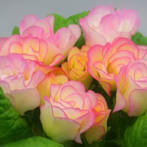 【誕生花】1月25日 プリムラの花言葉