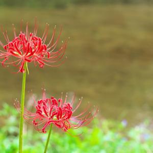 9月20日 ヒガンバナの花言葉