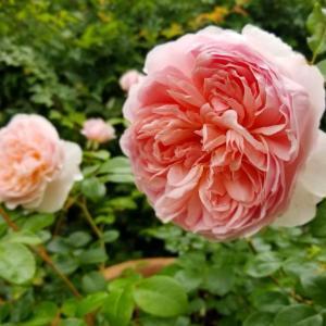 7月15日  バラ の花言葉