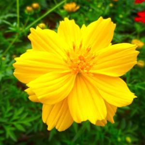 8月12日の誕生花 キバナコスモスの花言葉