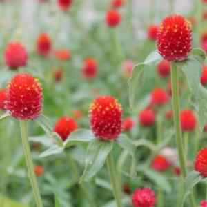 [誕生花】8月14日 センニチコウの花言葉