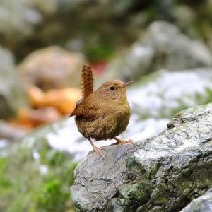 (2020.5.17)の野鳥撮り『ミソサザイ』『オオルリ』
