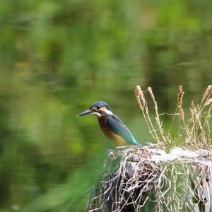 (2020年5月30日)の野鳥撮り『カワセミ』