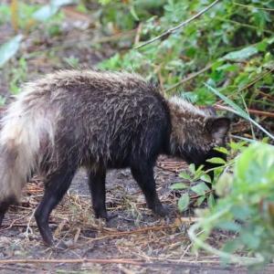 梅雨狸➡穴掘り狸➡立ち上がる狸