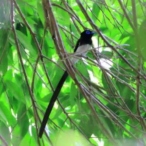 6月の野鳥撮り『サンコウチョウ』