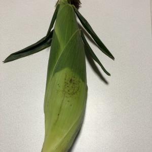 採れたてトウモロコシ(^^)