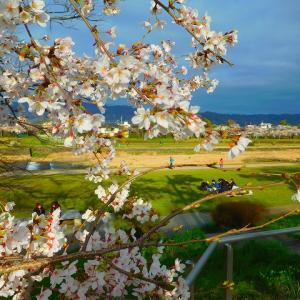 桜が 咲いた! 咲いた!! 京都の桜が咲いた!!(*´▽`*)