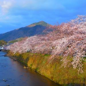 """毎年のお気に入りのスポットは 此方!馬橋からの桜と比叡山 """"桜アンパン"""" の大人の味 (^^♪"""