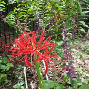 彼岸花の風景 我が庭にも3本咲いたよ!ムラサキシキブとミズヒキソウ(^^♪