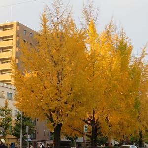 京都堀川通りのイチョウ並木 市中で秋一番お気に入りのスポット①