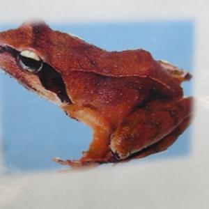 """此処にしかいない蛙 """"タゴガエル"""" 声はすれども姿は見えず、、、"""