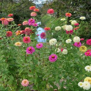 """""""百日草""""と比叡山 秋が深まって、、、""""SAKURA CAFE""""訪問 お花は良いな (^^♪"""