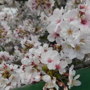 2020桜並木  完結編