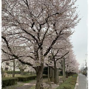 ご近所桜2020