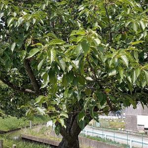 ジョギングコースの桜の実