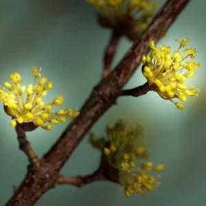 山茱萸(サンシュユ)=春黄金花
