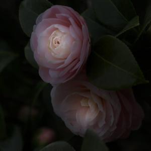桜は「散る」 牡丹は「崩れる」 乙女椿は・・・