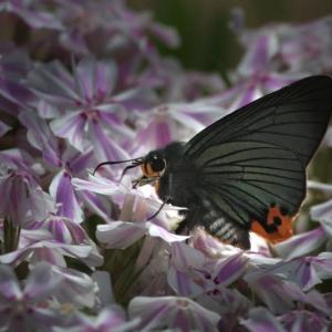「アオバセセリ蝶」蝶よ花よと 撮ろうとするが・・・!!