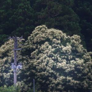 大木を覆い尽くす白い花は・・・!!