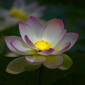 蓮の花言葉は 「清らかな心」 「神聖」
