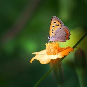 ベニシジミ 蝶